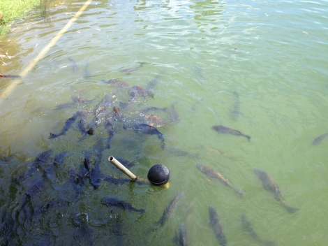 Feeding carp at Leaves and Fishes Hunter Valley